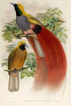 Ave del paraiso de pecho gris-The birds of New Guinea and the adjacent Papuan islands..1875-1888-Vol I-Gould y Sharpe