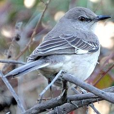 Pictures of State Birds: Arkansas