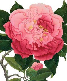 Camellia - Natural History Museum greeting card