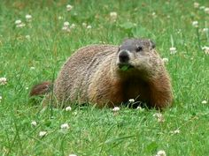 groundhogs are so cute!