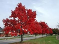 Falls Favorite Trees Like The Red Maple Trees. They come alive with vibrancy in autumn. Order now and plant yours for beautiful foliage next fall. Shipping all plants now.