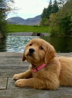 Look at this pretty lady!! Perros Golden Retriever, Golden Retrievers, I Love Dogs, All Dogs, Dogs And Puppies, Animals Beautiful, Adorable Puppies, Cute Dogs, Puppys