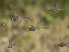Dragonflies on the wing