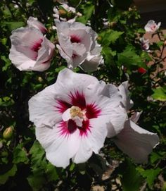 A pretty Rose of Sharon photo...my maw-maw always called this a cottonwood bush.  Every year when mine bloom it always reminds me of maw-maw and paw-paw.  I miss them both so much.