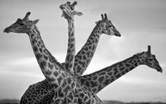 Stunning black-and-white images of African wildlife and the the decline of their habitats are the focus of a new book by David Gulden Wild Life, Wildlife Photography, Animal Photography, White Photography, Action Photography, Beautiful Creatures, Animals Beautiful, Funny Animals, Cute Animals