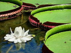 VICTORIA AMAZONICA......AND FLOWER.........GIANT WATER LILIES........SOURCE DENISELUDWIG.BLOGSPOT.......