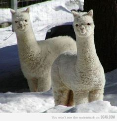 There is an alpaca ranch for sale in Sterling. Should I raise alpacas? These are alpacas, aren't they? Alpacas, Cute Baby Animals, Animals And Pets, Funny Animals, Cute Animal Photos, Animal Pictures, Animal Mashups, Cute Alpaca, Baby Alpaca
