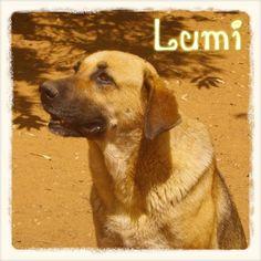 ¡ADOPTADA! Lumi, a pesar de su gran tamaño, es una #perra muy dulce. Fue rescatada de Mairena con fecha de sacrificio pero por fin ha encontrado un hogar donde ser feliz.