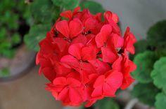 Mitol lesz szep a muskatli Plants, Geraniums, Flowers, Growing, Rose, Tree