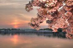 Cherry blossoms on the Tidal Basin in Washington, DC http://media-cache4.pinterest.com/upload/282671314081718042_Mhm6nVzV_f.jpg chancehammock my photos