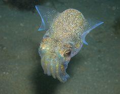 Dumpling Squid by Peninsuladive Mornington Peninsula Animals And Pets, Cute Animals, Underwater Life, Underwater Animals, Underwater Creatures, Life Under The Sea, Beautiful Sea Creatures, Ocean Creatures, Ocean Life