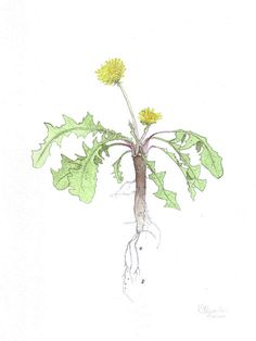 Dandelion  Scientific Illustration  Original by LittleAlexander