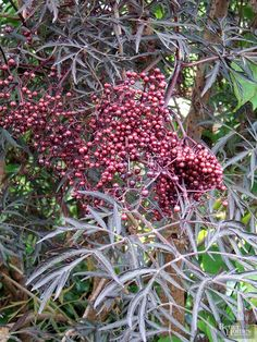 elderberry: Plant 'Adams' and a pollinator variety, such as 'John's', for a bounteously fruitful crop.