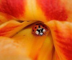 Lady Bug in flower
