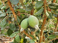 Pineapple Plant Care, Pineapple Guava Tree, Guava Plant, Guava Fruit, Pineapple Planting, Building A Trellis, Meyer Lemon Tree, Home Vegetable Garden