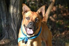 RETURNED 11/06/15 TOO ACTIVE --- SAFE 10-28-2015 --- Staten island Center BRUNO – A1052318 MALE, RED, CHOW CHOW / PIT BULL, 1 yr, 4 mos OWNER SUR – EVALUATE, NO HOLD Reason ALLERGIES Intake condition EXAM REQ Intake Date 09/22/2015