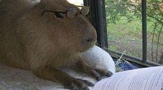 Esse roedor gigante e simpático tem feito muito sucesso na web. De uma hora pra outra, parece que todo mundo virou fã da capivara! Esses 4 livros...