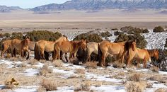 Fifty-two more wild horses were released onto the range and 11 others euthanized as the Bureau of Land Management helicopter roundup as the Sulphur Horse Management Area in Utah ended onTuesday.  Altogether, 655 wild horses were captured starting on Jan. 18, according to the agency.  Of those, 192 older horses were released -- less than half