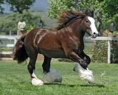 Clydesdale horses, I will someday own a couple of these too! Clydesdale Horses, Breyer Horses, Draft Horses, All The Pretty Horses, Beautiful Horses, Animals Beautiful, Big Horses, Horse Love, Appaloosa