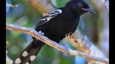 chororó-de-goiás_Cercomacra ferdinandi_Brazilian Birds