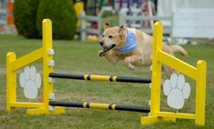 Discover the fun of dog agility training. Dog agility is one of the best and fastest growing of all dog sports. Learn how to train your dog and also the agility equipment you will need to get started. Agility Training For Dogs, Dog Agility, Dog Training Tips, Bff, Dog Activities, Project, Dog Runs, Dog Show, Dog Park