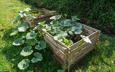 Squash Plant, Zucchini Squash, Bokashi, Planting Plan, Powdery Mildew, Beneficial Insects, Organic Matter, Companion Planting, Compost