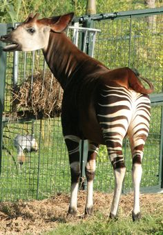Unique creature! Looks kind of a mix between a zebra and a mule or donkey?