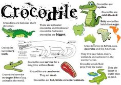 Crocodile Information Report Visual - My list of the most beautiful animals Crocodile Facts For Kids, Crocodile Craft, Animals Information, Preschool Lessons, Science Lessons, Preschool Activities, Amphibians, Reptiles, School