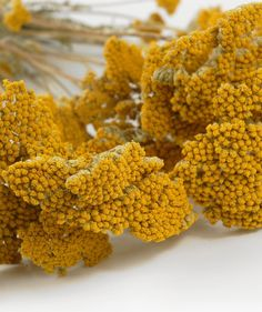 Mustard Yellow Preserved Yarrow Stems. We have these in bridemaid bouquets (along with navy thistle and craspedia) and for vases.