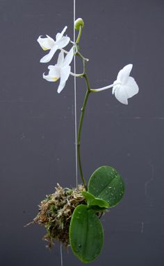Orchid kokedama is the method of planting and hanging by string
