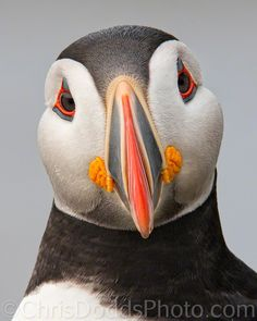 Clown of the Sea (puffin) by Christopher Dodds on 500px