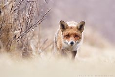 Fox by Roeselien Raimond on 500px
