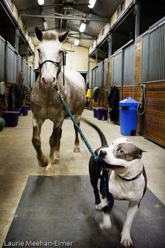 You can lead a horse to water with a pit bull.  ? SEE! Even a horse (a prey animal) knows that pit bulls can be trusted. This photo adequately speaks to both my loves! :)