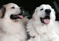 Vote for Ivy and Quincy in the National Pyr Rescue's 2016 Top Dog Calendar Cover Contest.