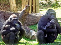 Página 6A - Família de gorilas Foto Suziane Fonseca 29 (7)
