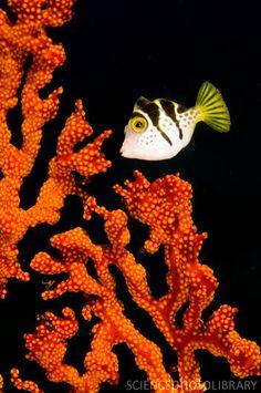 Juvenile blacksaddle filefish  foreground/background, definition