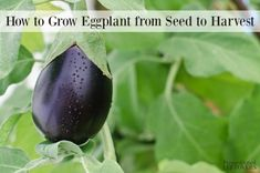 Growing tomato plants from seeds is not that difficult and it is extremely rewarding. Phenomenal Growing Tomatoes from Seeds Ideas. Eggplant Plant, Growing Eggplant, Eggplant Seeds, Growing Tomatoes From Seed, Growing Tomato Plants, Growing Seeds, Grow Tomatoes, When To Plant Vegetables, Growing Vegetables