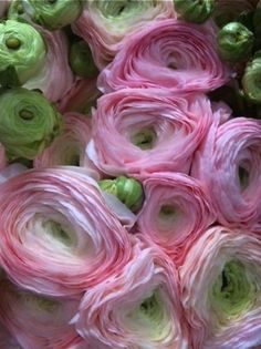 Ranunculus. The most beautiful flower.