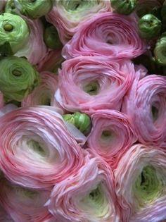 Ranunculus. The most beautiful flower.
