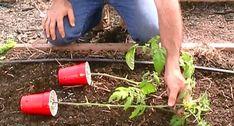 W końcu zdradził 4 genialne sztuczki, które stosuje, by mieć pyszne pomidory… w dużych ilościach – Lolmania.eu
