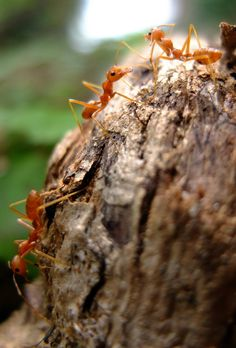 Picture of red ants.