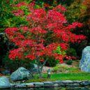 Fernleaf Full-Moon Japanese Maple | The Tree Center™