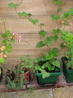 Growing your own sweet potatoes is such fun and it can be done in a small garden in a container. Potato Planter, Growing Sweet Potatoes, Sprouts, Planters, Healthy Recipes, Garden, Lawn And Garden, Healthy Eating Recipes, Gardens