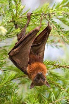 Flying Fox (Fruit Bat)