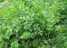 Flerårig, blir opptil 200 cm høy. Det anbefales å så løvstikke i potter fra mars og plante ut småplantene med 40 cm mellomrom. Plantene kan stå i 3-4 år. Plantes …