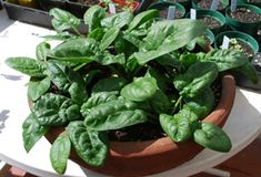 Growing Spinach is easier than you think! It is very easy to start growing spinach in containers even if you are just starting in gardening :)