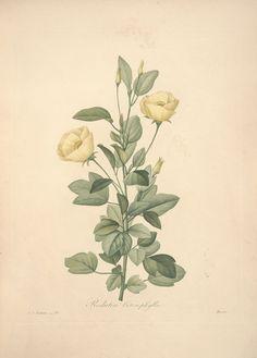 gravures de fleurs par Redoute - Gravures de fleurs par Redoute 063 redutea…