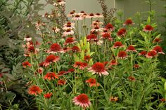 coral reef echinacea - Google Search