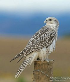GYRFALCON....a bird of prey (and largest of the falcon) found on the Arctic coasts and tundra of northern North America, Europe, and Asia....measures 19 to 24 inches long with a wingspan of 43 to 51 inches Flock Of Birds, Birds Of Prey, Wild Birds, Owl Bird, Bird Art, Pretty Birds, Beautiful Birds, Falcon Hawk, Kestrel