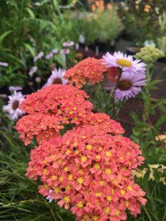 Achillea millefolium 'Salmon Beauty' - Xera Plants